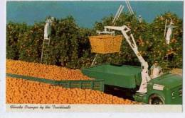 FLORIDA Oranges By The  Trckloads - Cultivation