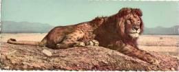 Cpsm  De Format Panoramique , LION De L´atlas, Tacheté (p16) - Lions