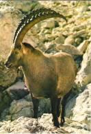 CARTE POSTALE - BOUQUETIN - Animals