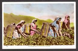 SR36) Ceylon - Women Plucking Tea, Up-Country - Tinted RPPC - 1956 - Sri Lanka (Ceylon)