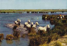 * * EN CAMARGUE * * Chevaux Sauvages Dans Les Marais ( Carte Vierge ) - France