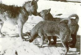 Chien Et Chiots  Cp éditée  à L´occasion Du 50 E Anniversaire Des Expéditions Polaires Française - TAAF : Terres Australes Antarctiques Françaises
