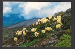 DPR NORTH KOREA POSTCARD Rhododendron Of Mt. Paekdu-san, Flowers, Unused Mint - Korea, North