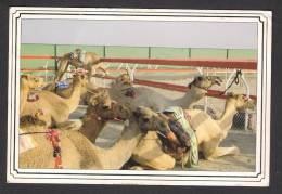 OMAN POSTCARD Camels Resting After Race, Unused Mint - Oman