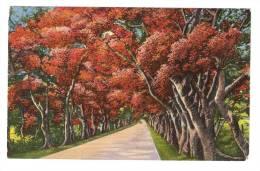 CPA - Puerto Rico : Beautiful Flamboyants Lining Military Road : Belle Allée De Flamboyants Route Militaire ( Dessins ) - Puerto Rico