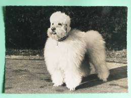 Chien Caniche ROYAL - Royal Poodle - Chiens