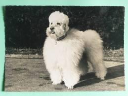 Chien Caniche ROYAL - Royal Poodle - Dogs