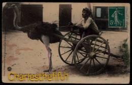 NICE - FERME D´AUTRUCHES DE NICE - ATTELAGE D´AUTRUCHE - Autruche Dressee - Struisvogel - Animaux & Faune