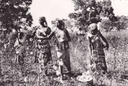 FORT-LAMY ( République Tchad ) La Récolte Du Coton - Tchad
