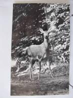 Photo D'un Chevreuil Prise à Priori En Forêt De Chantilly Dans L' Oise. Scan Recto-verso - Photos