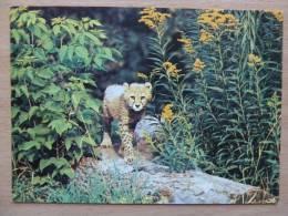 Cheetah /   Russian  Postcard - Lions