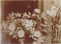 Heideröschen,  Pflanze, Strauch, FOTO Um 1938, Original - Fotos
