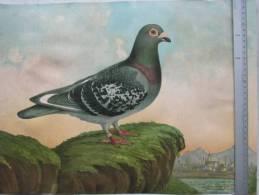 Dessin - Reproduction Peinture - PIGEON De Race -  Imp,  J. E. GOOSSENS , Bruxelles - Signé E. EVRARD , Liège -   (2652) - Lithographies