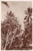 Tanzania Zanzibar Clove Trees & Coconut Palms Real Photo