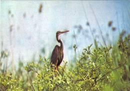 Postcard , Romania, Birds - The Purple Heron - Ardea Purpurea - Birds