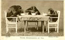 N°25080 -cpa Young Chimpanzees At Tea - Singes