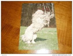 Hund Dog Chien Komondor  Postkarte Postcard - Chiens