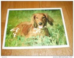 Hund Dog Dachshund Dackel Teckel Postkarte - Dogs