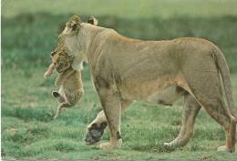 Lionne Transportant Son Jeune - Lioness Carrying Her Cub - Ngorongoro Crater, Tanzania - Lions