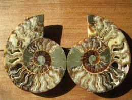 Ammonite De Madagascar, Sciée Et Polie, 20,5 Cm, 15 Cm, 4 Cm, 1,5 Kg. Décor Fougères Au Dos. - Fossiles