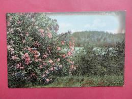 Bermuda--   Oleanders In Bloom At Grasemere --- Circa 1910- Not Postally Mailed------------  Ref 718 - Bermudes