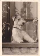 21046- 2 Photos Originales  6x9cm Chien Belge Belgique Vers 1950 - - Photos