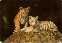 CALENDARIO DEL AÑO 2003 DE UNOS TIGRES (TIGER)  (CALENDRIER-CALENDAR) - Calendarios