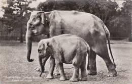 ZOO ANIMAL - ELEPHANTS .  BASEL - Elephants