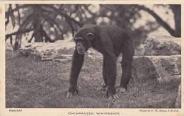 ZOO ANIMAL - CHIMPANZEE, WHIPSNADE - Singes