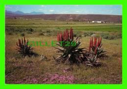 CAPE TOWN, SOUTH AFRICA - FLOWERS - VYGIES (MESEMBRYANTHEMUM) - FORO G. DOUGLAS - - Afrique Du Sud
