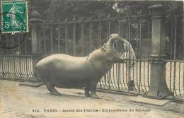 PARIS JARDIN DES PLANTES HIPPOPOTAME DU SENEGAL - Parcs, Jardins