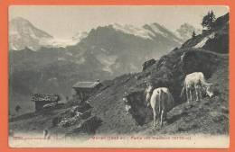 Q062, Mürren , Breithorn, Vaches, 8387, 1907,  Non Circulée - BE Bern