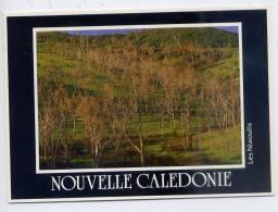 Nouvelle Calédonie-- Les Niaoulis ,cpm  N°496 Photo G.Blanc  éd Solaris Nouméa - Nouvelle-Calédonie