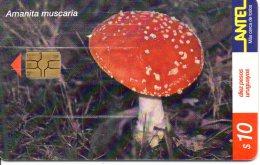 Amanita Muscaria - 200000 Ex - Uruguay
