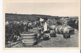Le MESNIL Sur OGER 51 Marne MOET Et CHANDON Chapagne Récolte Scéne De Vendange - France