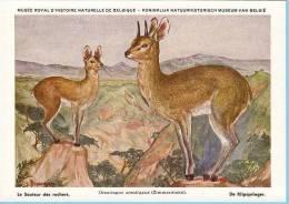 KBIN (ca 1935) - Zoogdieren Congo Beschermd - 13 - Sauteur Des Rochers, Klipspringer - Autres