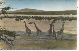 GIRAFES - Faune Africaine - Girafes