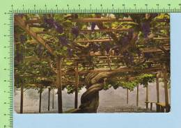 San Gabriel California ( Giant Grape Vine  )2 Scan USA Postcard Casrte Postale - Vignes
