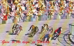Greyhound Racing Greyhounds Rounding The Turn - Cartes Postales