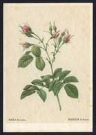 *Rosa Evratina* Ed. Woldemar Klein Nº K 700.  Nueva. - Flores, Plantas & Arboles