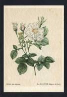 *Rosa Alba Foliacea* Ed. Woldemar Klein Nº K 708.  Nueva. - Flores, Plantas & Arboles