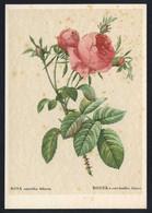 *Rosa Centifolia Foliacea* Ed. Woldemar Klein Nº K 699.  Nueva. - Sin Clasificación