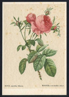 *Rosa Centifolia Foliacea* Ed. Woldemar Klein Nº K 699.  Nueva. - Flores, Plantas & Arboles