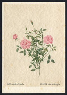 *Rosa Indica Pumila* Ed. Woldemar Klein Nº K 709.  Nueva. - Sin Clasificación