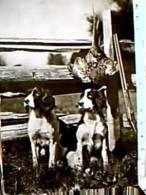 CANE CANI DOG COKER SPANIEL  E FUCILE CACCIA FAGIANO V1955 EA8105 - Hunde