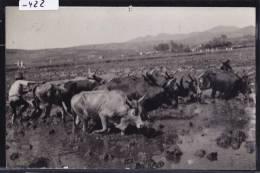 Mananjary (écrit De —) - Piétinage Des Rizières - Troupeau De Bœufs - Vers 1957 (-422) - Madagascar
