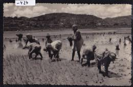 Antsirabe (Photo Select —) - Repiquage Du Riz - Rizicultrices - Vers 1957 (-424) - Madagascar