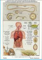 KBIN (ca 1950) - Parasitic Worms (humans) - 6 - Ascaris Lumbricoides, Giant Roundworm, Spoelworm - Autres