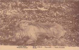 Belgian Congo Phacochere - Belgian Congo - Other