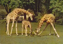CPSM GIRAFE ZOO PARIS - Girafes